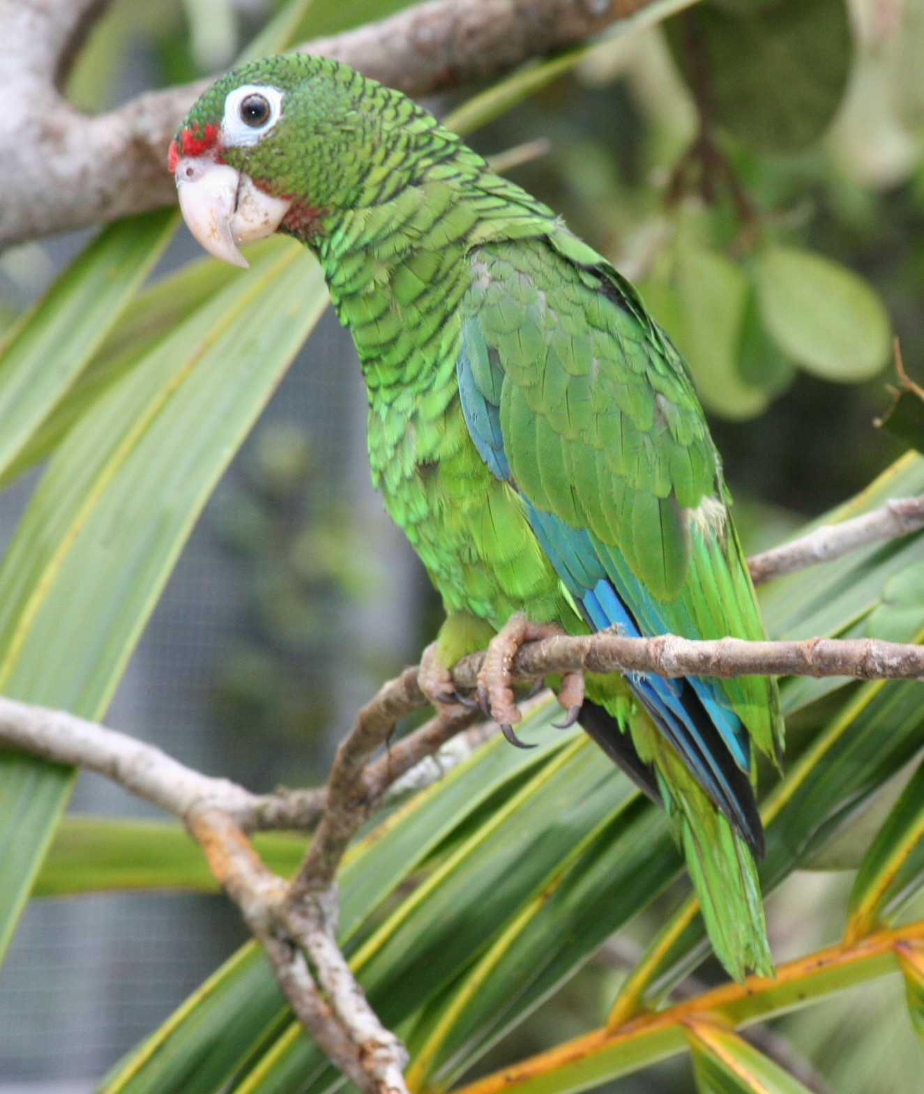 Photo of a Puerto Rican Parrot.